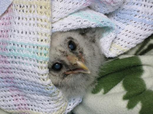 Barred owl@ノースバンクーバー