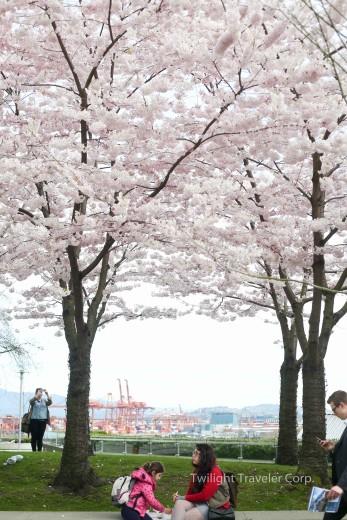 バンクーバー 桜