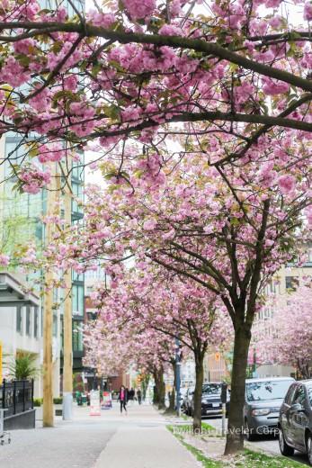 バンクーバー 八重桜