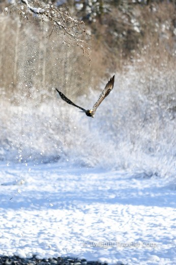 白頭鷲の尻尾