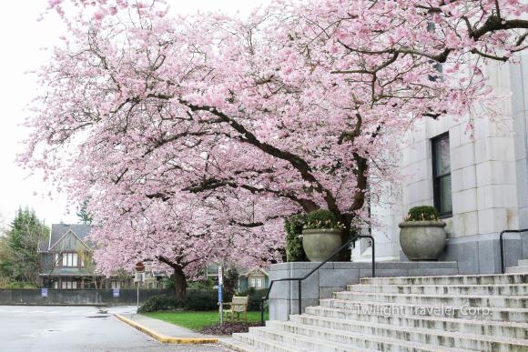 バンクーバー市役所の桜