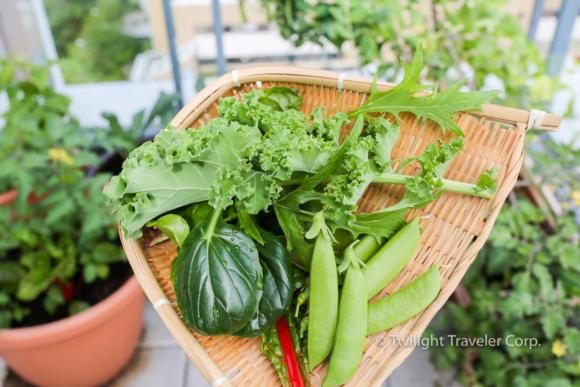 ベランダ菜園 収穫