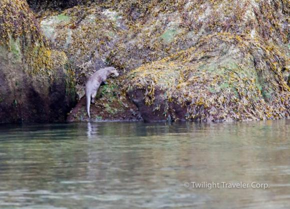16カワウソ River Otter