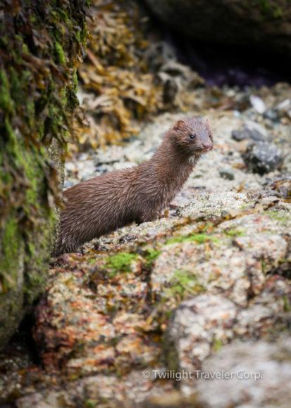 Weasel Otter