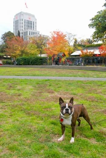 ボストンテリアの僕も楽しむ彩り鮮やかなバンクーバーの秋