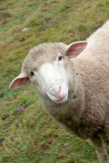 Quadra sheep_s.jpg